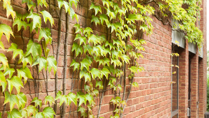 undefinedHouse with ivy growing on wall